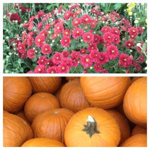 Fall Pumpkins and Mums