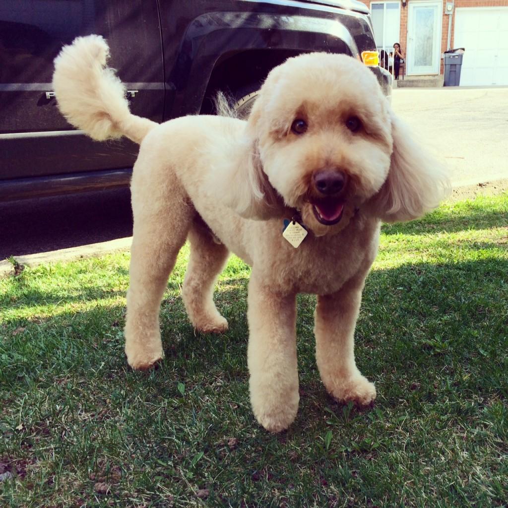 labradoodle haircut