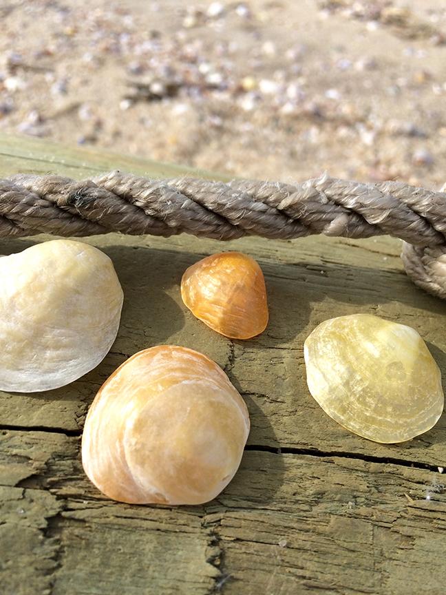sailing-shells