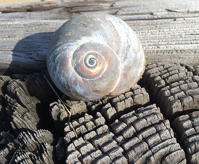 Pretty little snail shell