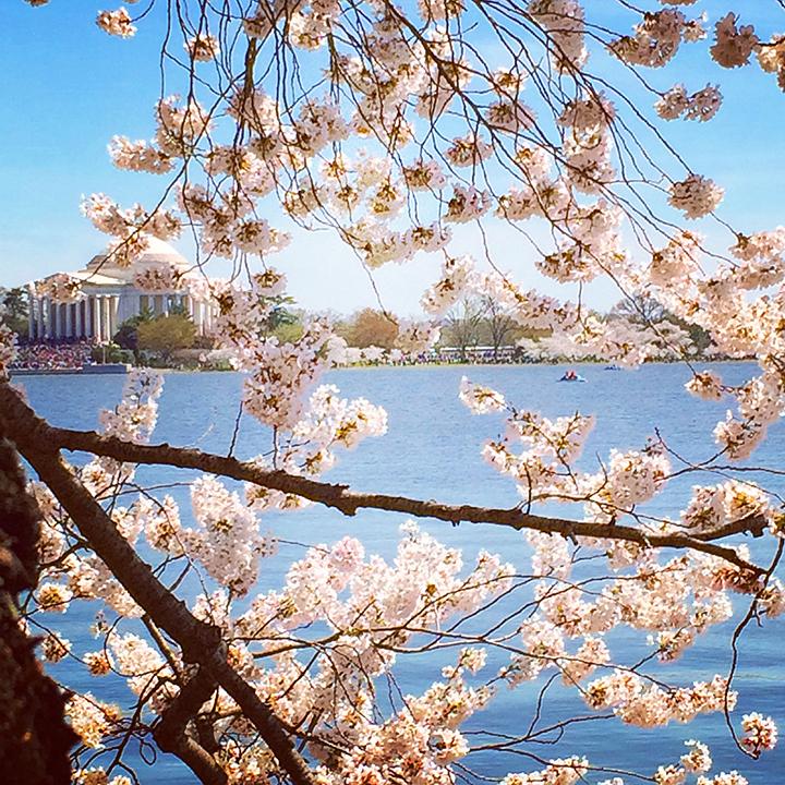 Peaking Cherry Blossoms